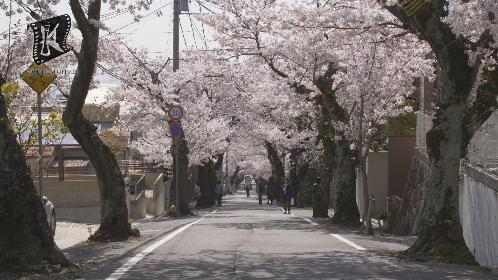 灘・桜のトンネル